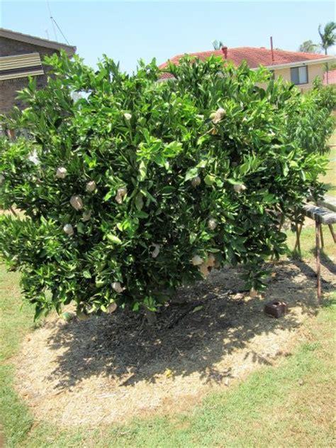 dwarf orange washington navel tree citrus sinensis