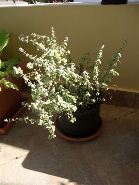 come coltivare l origano in vaso come coltivare origano in vaso