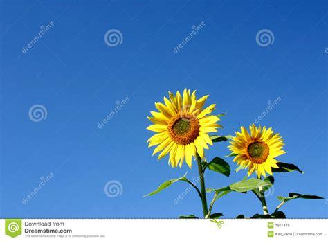 imagenes girasoles hermosos girasoles hermosos imagen de archivo libre de regal 237 as