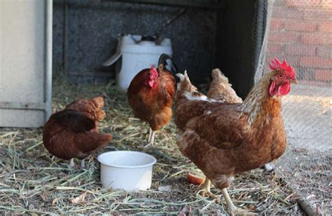 backyard poultry australia keeping backyard chickens agriculture and food
