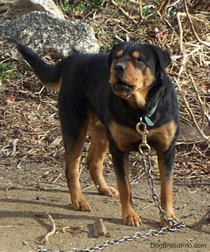 rottweiler chow chow mix rottie chow mix breed information and pictures