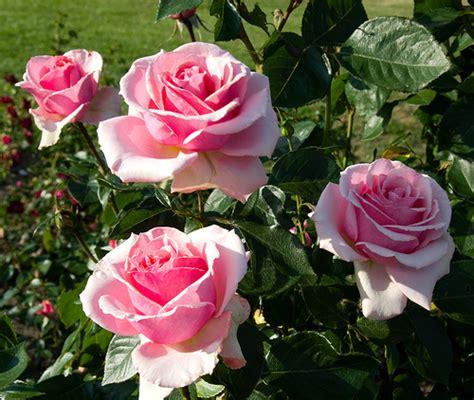 Garden Roses by San Jose Garden Roses 1 Flickr Photo