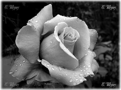 imagenes de flores a blanco y negro flores en blanco y negro taringa
