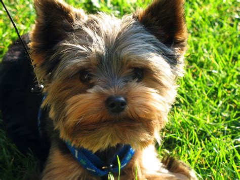 yorkie pictures terrier free stock photo domain pictures