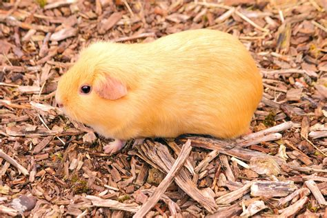 cheap guinea pig bedding 5 cheap and free ways to amuse your guinea pig