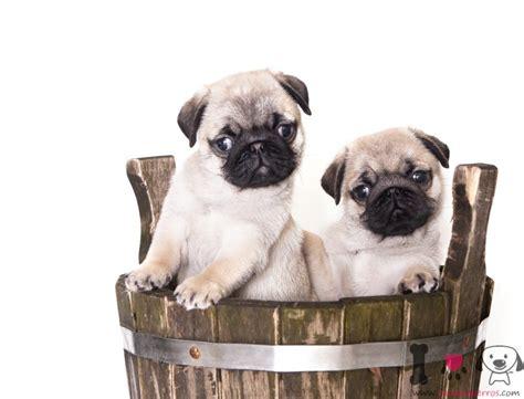 razas de perros peque 241 os de pelo corto razas de perros