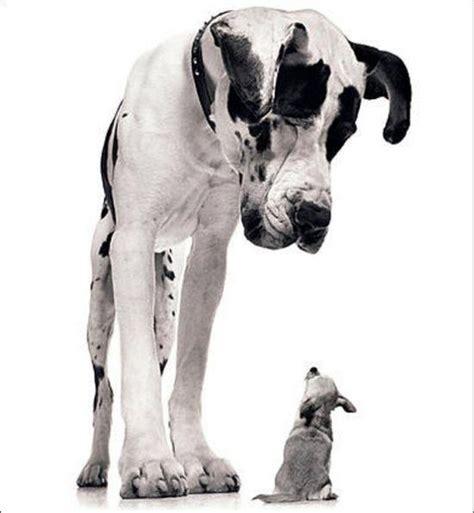 Man?s Best Friends ? Enormous Dogs