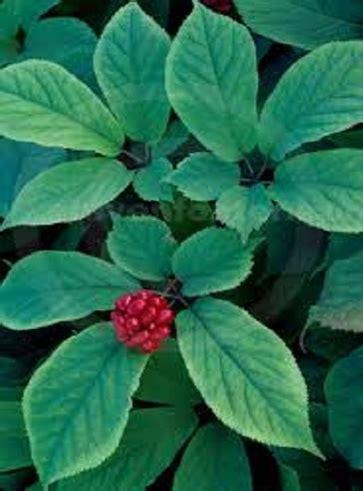 quanti sono i fiori di bach ginseng americano tipi di ginseng e loro uso