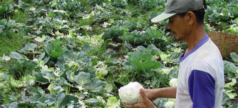 Cabbage and turnip aphids: cabbage pests in Indonesia and