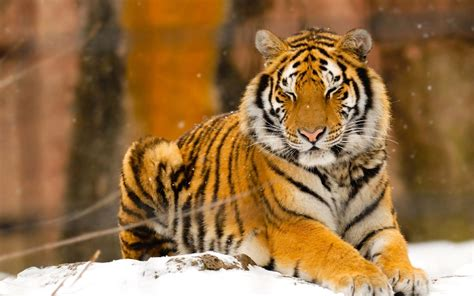 of tiger siberian tiger amur tiger facts for pictures