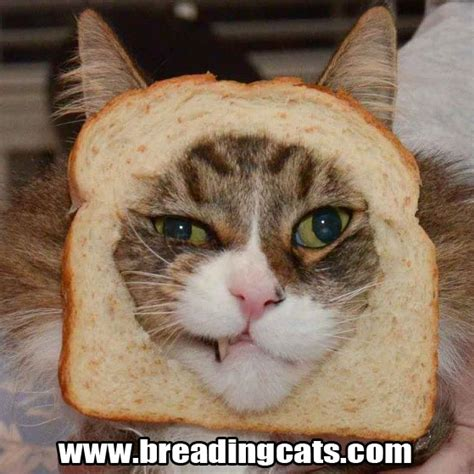 Bread Cat Meme - 112 best images about cat bread on pinterest the