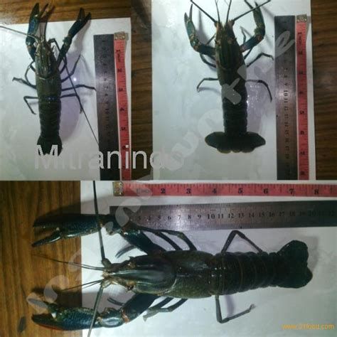 Lobster Air Tawar Frozen claw lobster products indonesia claw lobster supplier