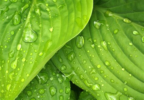 free green free stock photo of green hosta leaves