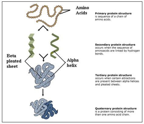 protein levels of structure explain the four levels of protein structure ib biology