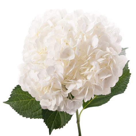 valentine s day white hydrangea flower muse