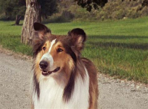 lassie type what type of is scooby doo snoopy other dogs