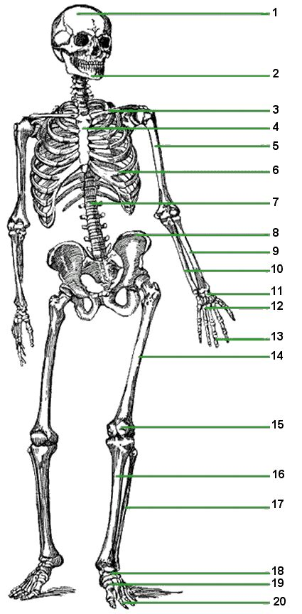 printable label the skeleton allen dana health science anatomy
