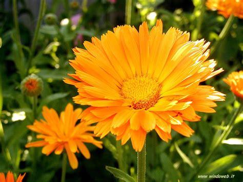 foto fiori immagini fiori gratis per sfondi desktop
