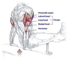 what does benching work 1000 images about muscle diagrams on pinterest muscles