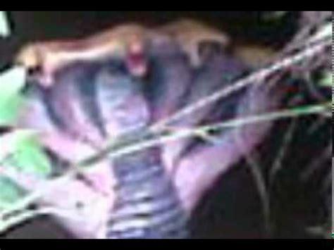 film ular berkepala 7 gempar ular tedung berkepala 7 mr zam extreme ghost