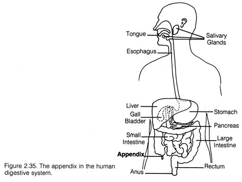 blank digestive system diagram printable digestive system diagram the blank on gastric