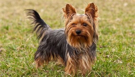 best names for yorkies 10 best terrier names