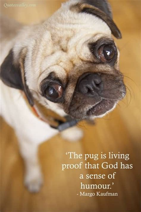 pug limping humour quotes sayings pictures and images