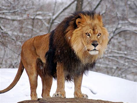 lion images free dowload