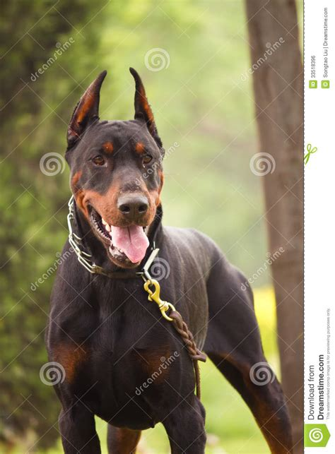 how to your doberman to be a guard doberman pinscher royalty free stock image image 33518396