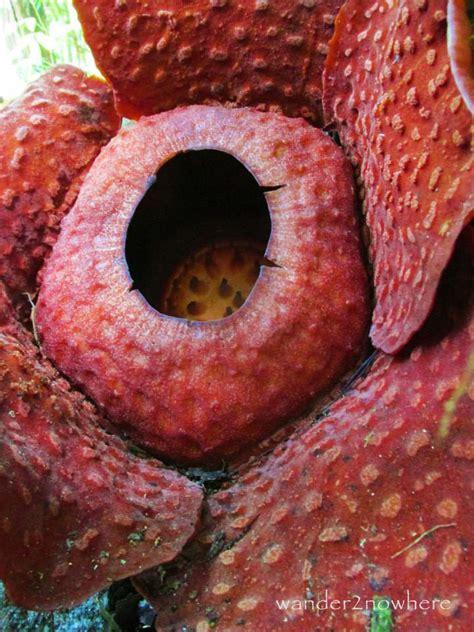 raflesia rd 04 photo of the week rafflesia flower borneo