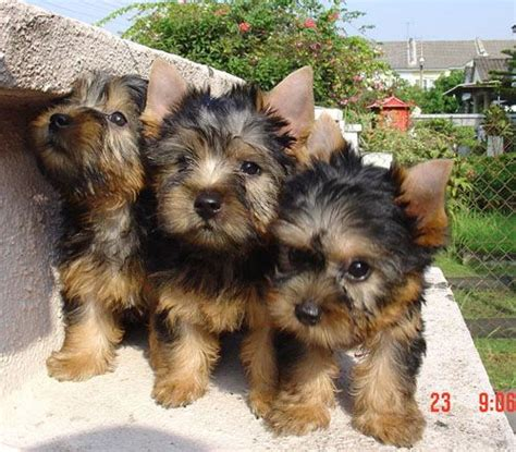 short cuts for silky terrier 1000 images about silky terriers on pinterest puppys