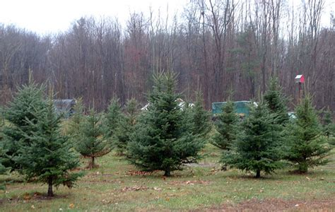 the best in local christmas tree u cut farms modern mama