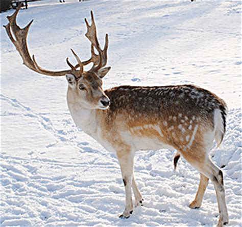 reindeer and its association with christmas and santa