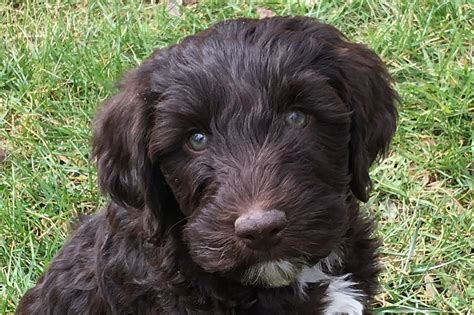 labradoodle puppies for sale nc australian labradoodle puppies for sale raleigh durham cary chapel hill nc