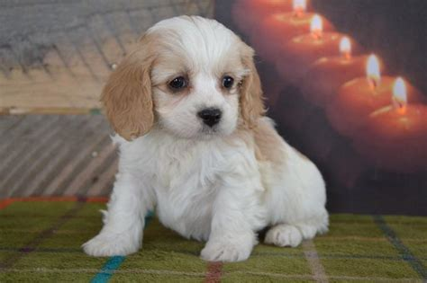 cavapoo puppies for sale missouri majestic cavapoo pups craigspets
