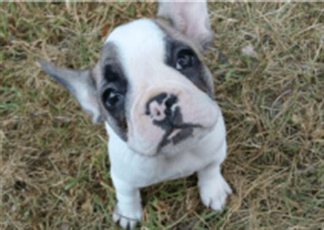how many puppies do bulldogs where to buy a bulldog find a reputable breeder