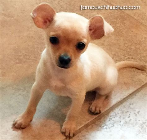apple chihuahua puppies pin apple chihuahua pictures on