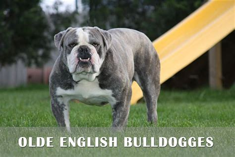 olde bulldogge puppies for sale olde bulldogge puppy gallery