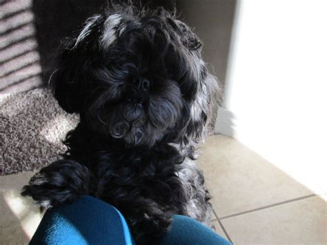 40 best images about shihpoo shih tzu poodle cross on