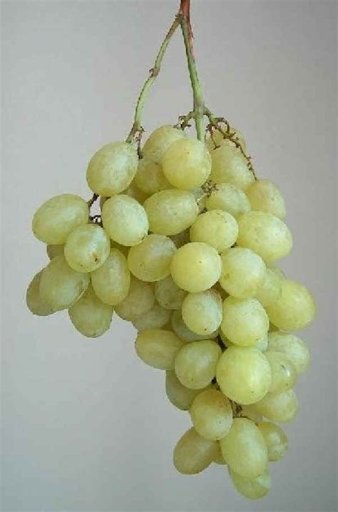 tipi di uva da tavola uve da tavola concimi e biostimolanti per vite da tavola