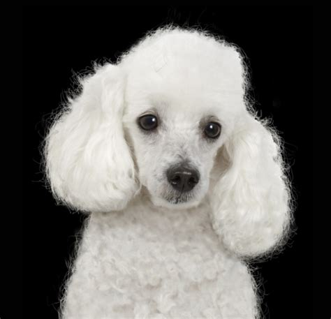 white poodle puppies image gallery whitepoodle
