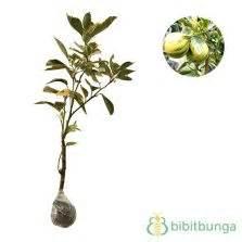 Tanaman Jeruk Sunkist 60cm tanaman jeruk sunkist bibitbunga
