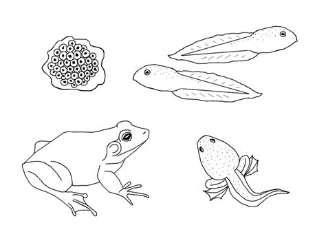 free coloring pages of frog lifecycle to colour