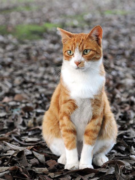 file orange tabby cat sitting on fallen leaves hisashi 01a