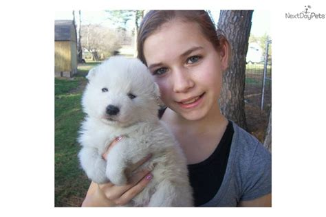 samoyed puppies near me samoyed puppy for sale near clarksville tennessee 8ea4f6e9 dac1