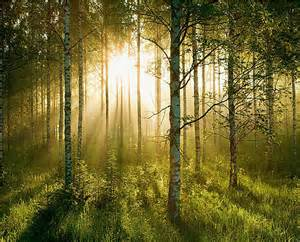 Forest Wall Mural Wallpaper sunlight forest wall mural
