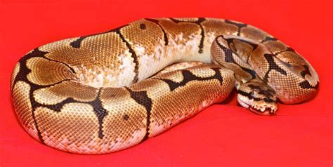 arcgis tutorial in urdu ball python care guide