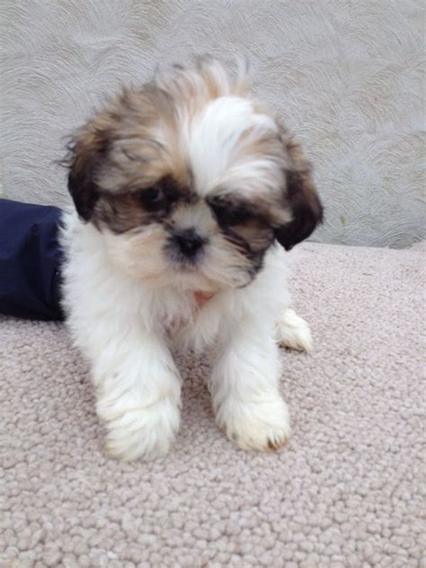trained shih tzu puppies for sale pin cost teacup dogs image search results on