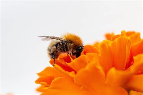 stock photo  biene bienen honey bee