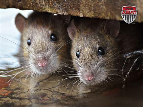 Mice Living In by Rat Gris Rat D 233 Gout Du Qu 233 Bec Description